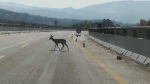 capriolo autostrada